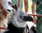 Preview Harpy Eagle