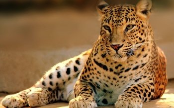Animalia - Leopard Wallpapers and Backgrounds ID : 406084