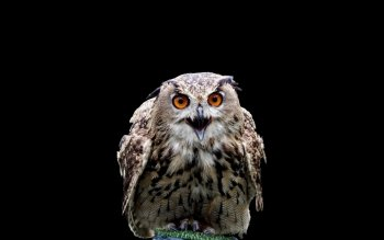 Animal - Owl Wallpapers and Backgrounds ID : 406099