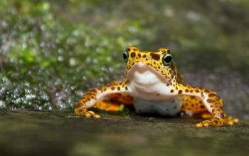 Animal - Frog Wallpapers and Backgrounds ID : 406649