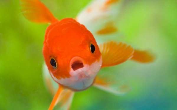 Animal Goldfish Fish HD Wallpaper | Background Image