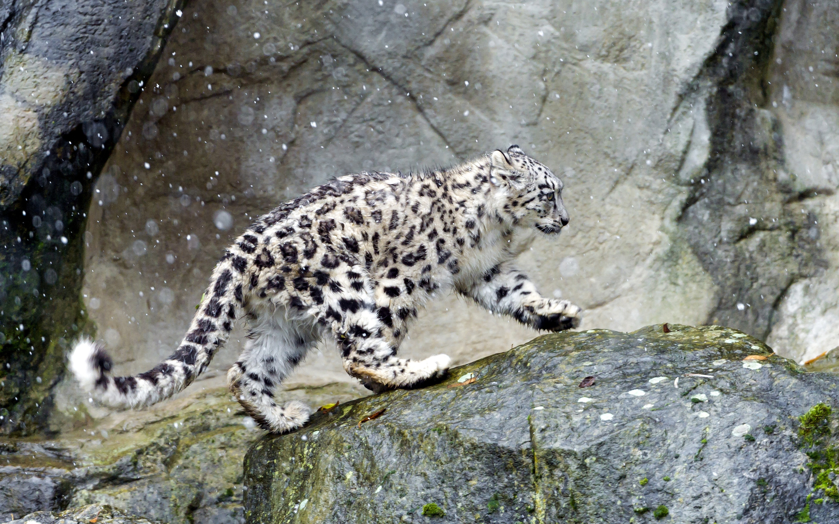 Snow Leopard Full HD Wallpaper and Background 2880x1800