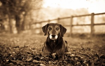Animal - Dog Wallpapers and Backgrounds ID : 407011