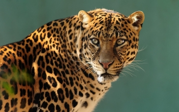 Animal - Leopard Wallpapers and Backgrounds ID : 407229