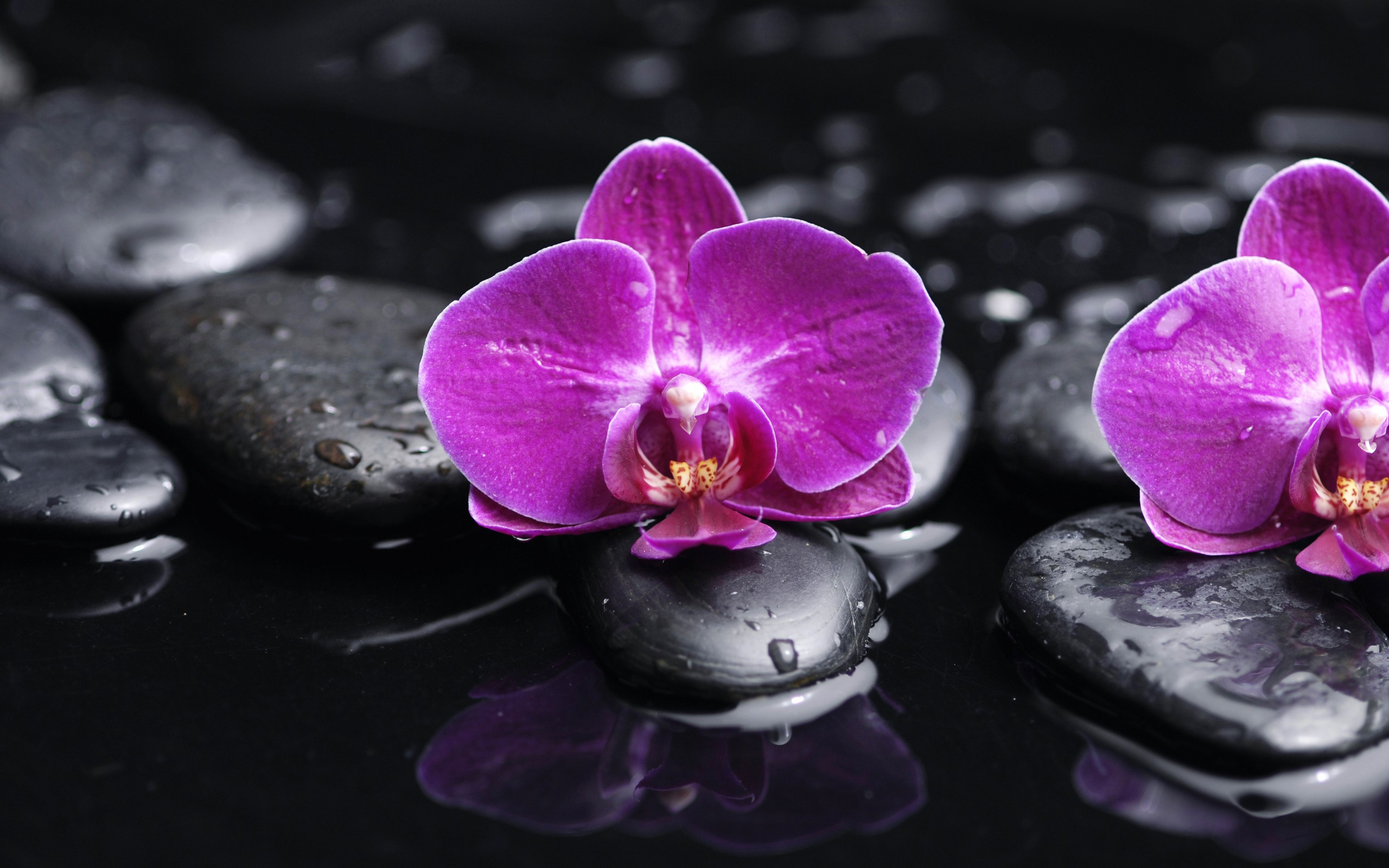 Wallpaper orchidee weiß  Orchidee Full HD Wallpaper and Hintergrund | 2560x1600 | ID:408093