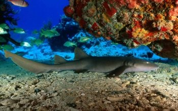 Animal - Shark Wallpapers and Backgrounds ID : 408382