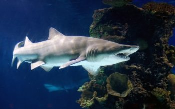 Animal - Sand Tiger Shark Wallpapers and Backgrounds ID : 408423