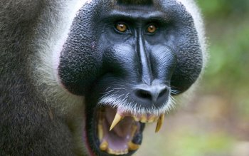 Animalia - Baboon Wallpapers and Backgrounds ID : 408427