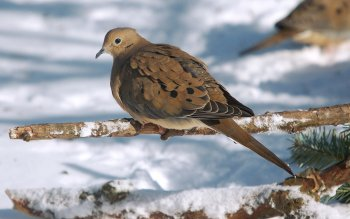 Animal - Turtledove Wallpapers and Backgrounds ID : 408518