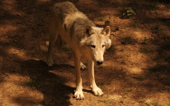 Animal - Wolf Wallpapers and Backgrounds ID : 408913