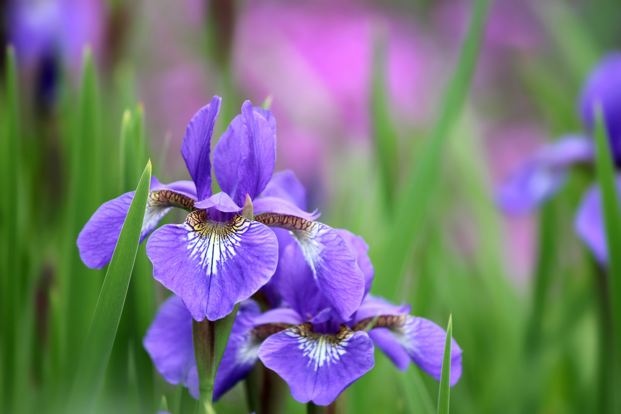 56 Iris Hd Wallpapers Background Images Wallpaper Abyss