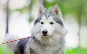 Animalia - Husky Wallpapers and Backgrounds ID : 409160