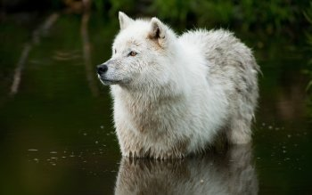 Animal - Wolf Wallpapers and Backgrounds ID : 409490