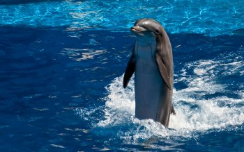 Animal - Dolphin Wallpapers and Backgrounds ID : 409578