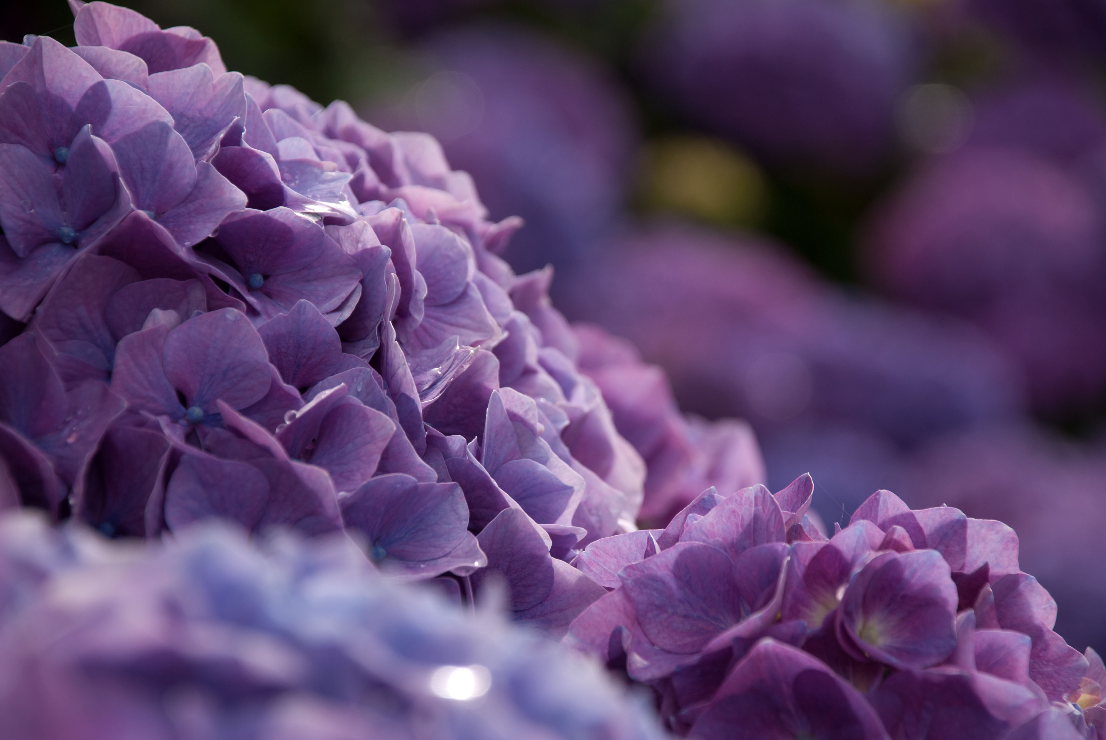 hydrangea 4k ultra hd wallpaper and background 3872x2592
