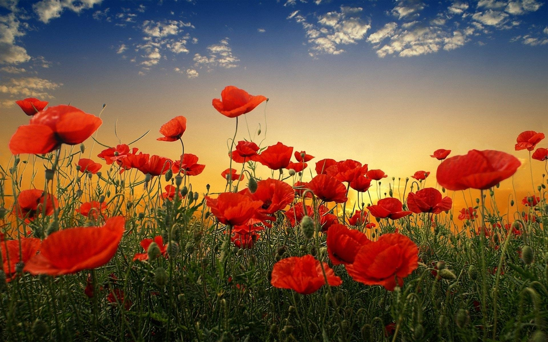 664 Poppy Hd Wallpapers Background Images Wallpaper Abyss