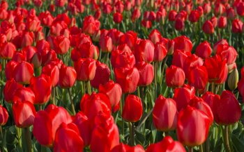 Earth - Tulip Wallpapers and Backgrounds ID : 410039