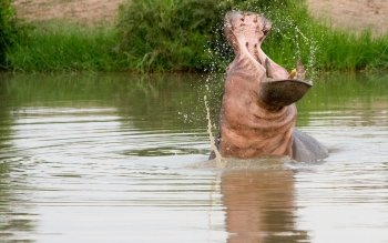 Animal - Hippo Wallpapers and Backgrounds ID : 410850