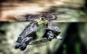 Animalia - Tortuga Wallpapers and Backgrounds ID : 411267