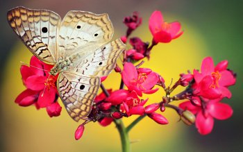 Animal - Butterfly Wallpapers and Backgrounds ID : 411423