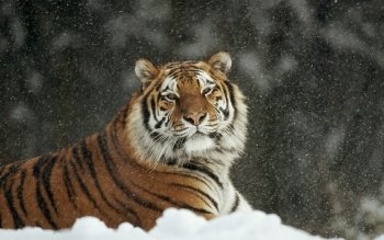 Artistic - Tiger Wallpapers and Backgrounds ID : 411645