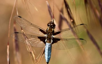 Animal - Dragonfly Wallpapers and Backgrounds ID : 411965