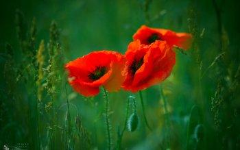 Earth - Poppy Wallpapers and Backgrounds ID : 411969