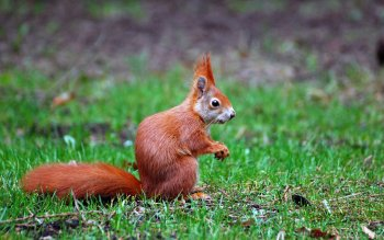 Animal - Squirrel Wallpapers and Backgrounds ID : 412088