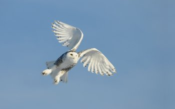 Animalia - Snowy Owl Wallpapers and Backgrounds ID : 412588