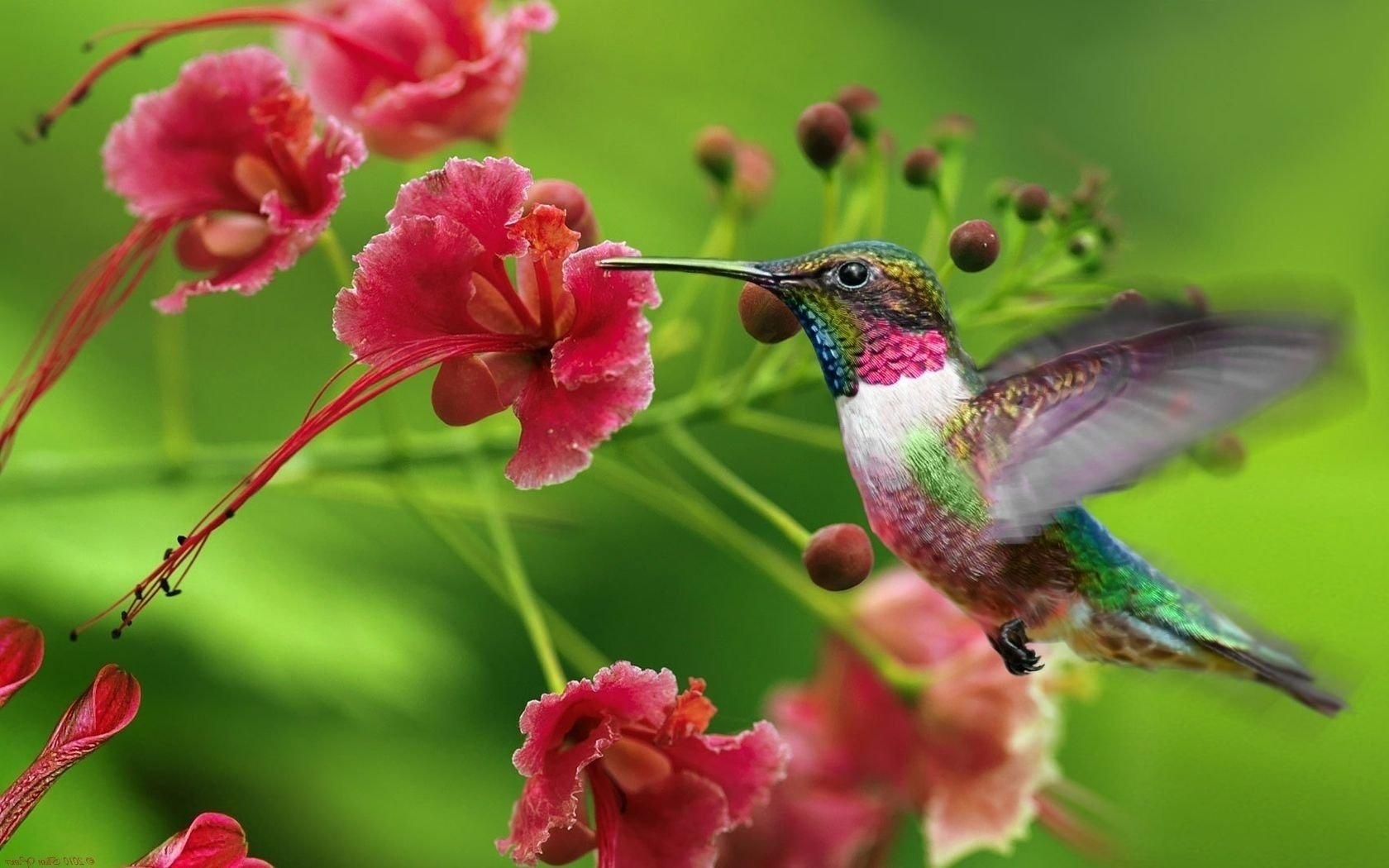 Animal - Hummingbird  Wallpaper