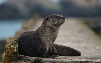 Animalia - Otter Wallpapers and Backgrounds ID : 413482