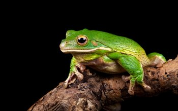 Animal - Frog Wallpapers and Backgrounds ID : 414960
