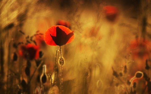 Earth Poppy Flowers HD Wallpaper | Background Image