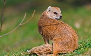 Animal - Mongoose Wallpapers and Backgrounds ID : 415015