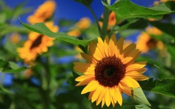Earth - Sunflower Wallpapers and Backgrounds ID : 415230