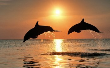 Animalia - Delfin Wallpapers and Backgrounds ID : 415256