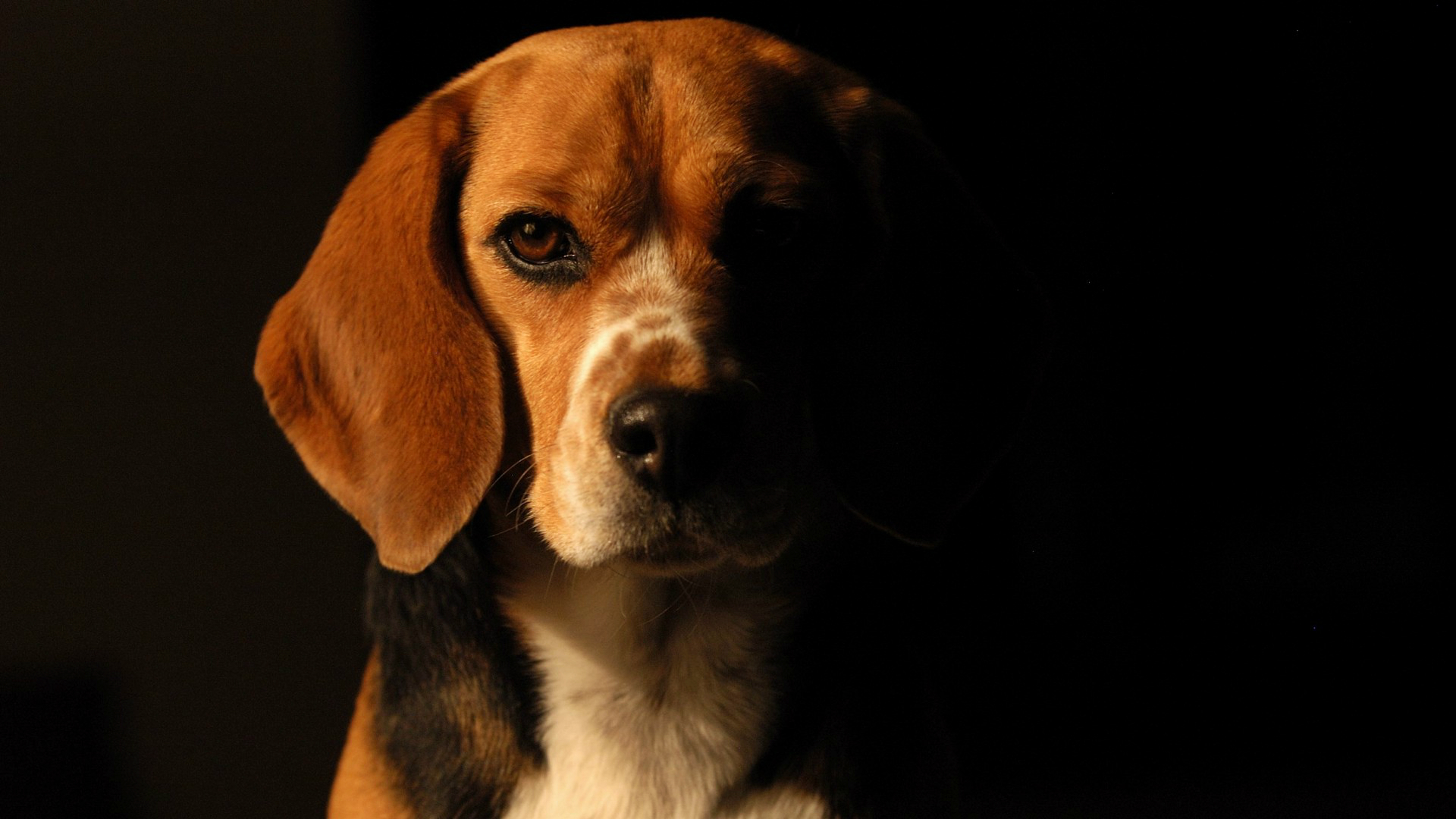 dog beagle guilty wallpapers - photo #5