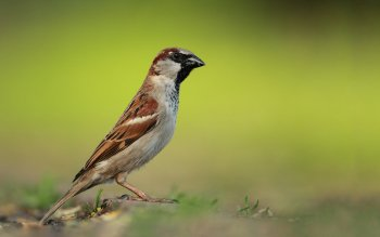 Animalia - Sparrow Wallpapers and Backgrounds ID : 416143