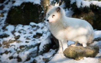 Animal - Arctic Fox Wallpapers and Backgrounds ID : 416306