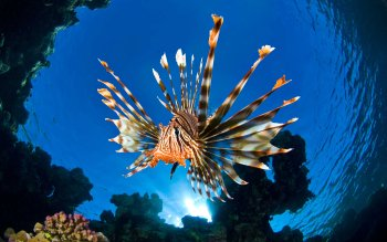 Animalia - Lionfish Wallpapers and Backgrounds ID : 416693