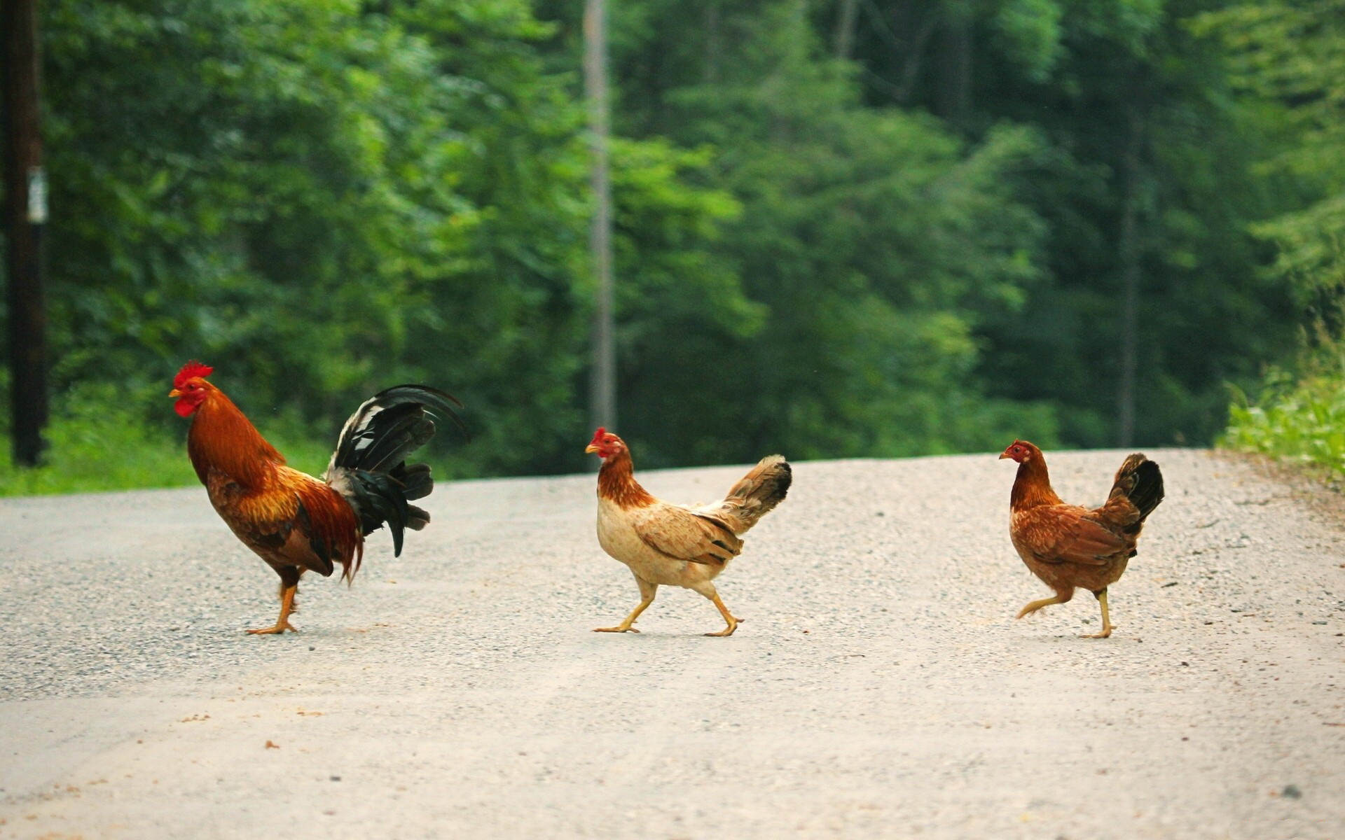 Why Did The Chicken Cross The Road ? Full HD Wallpaper and ...