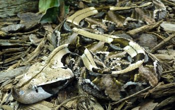 Animal - Gaboon Viper Wallpapers and Backgrounds ID : 417254