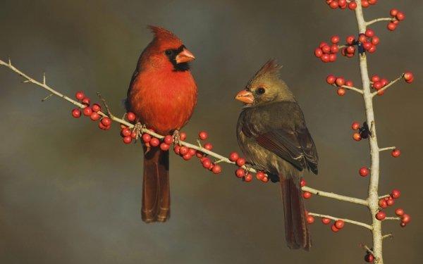 Animal Cardinal Birds Passerines Texas HD Wallpaper   Background Image