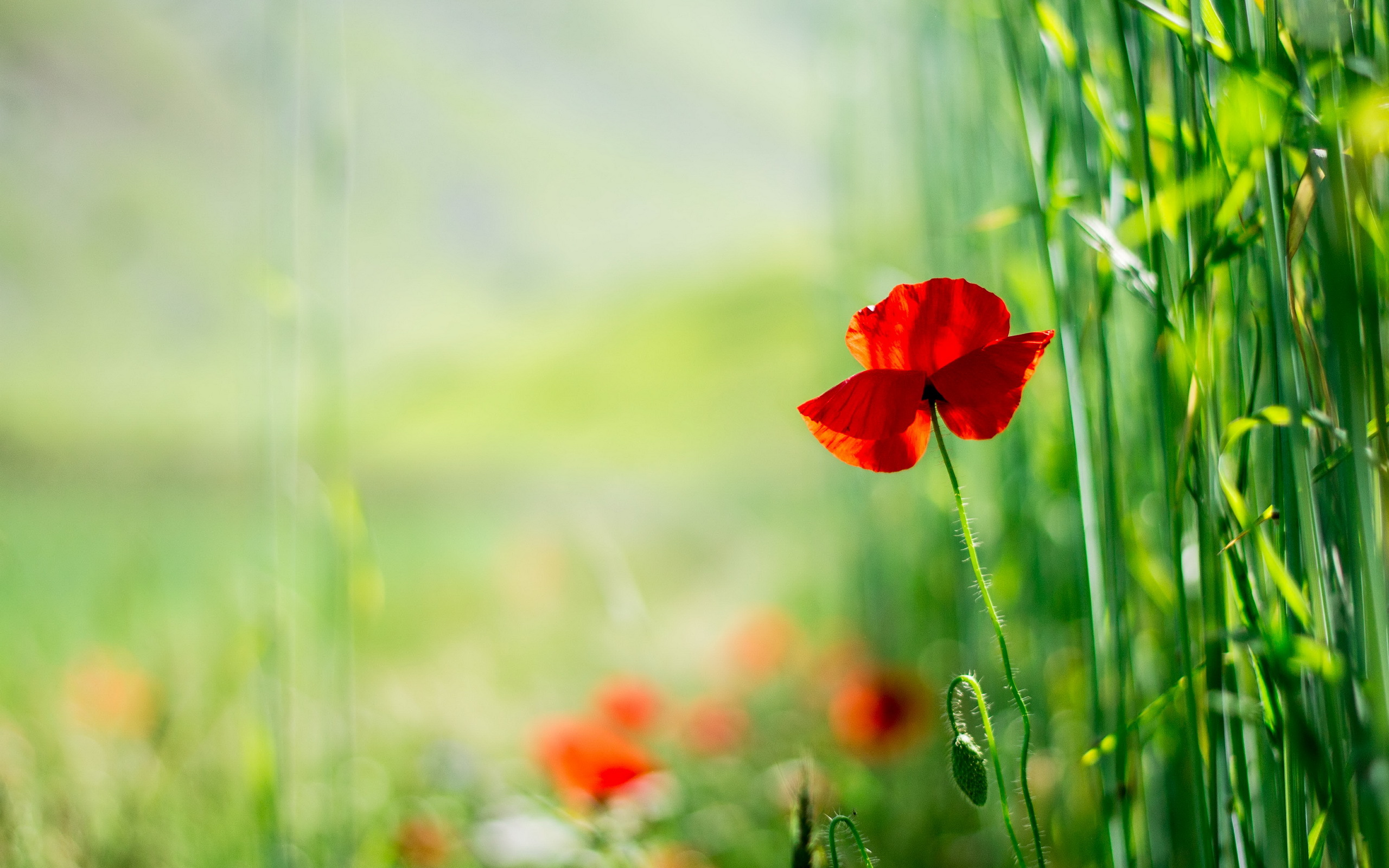 653 poppy hd wallpapers | background images - wallpaper abyss