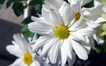 Earth - Daisy Wallpapers and Backgrounds ID : 419835