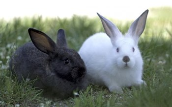 Animal - Rabbit Wallpapers and Backgrounds ID : 420038