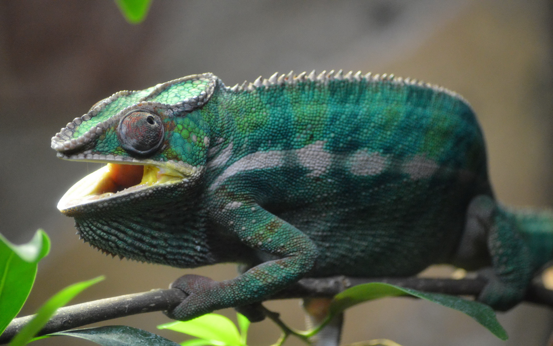 chameleon wallpaper 1920x1200 - photo #7