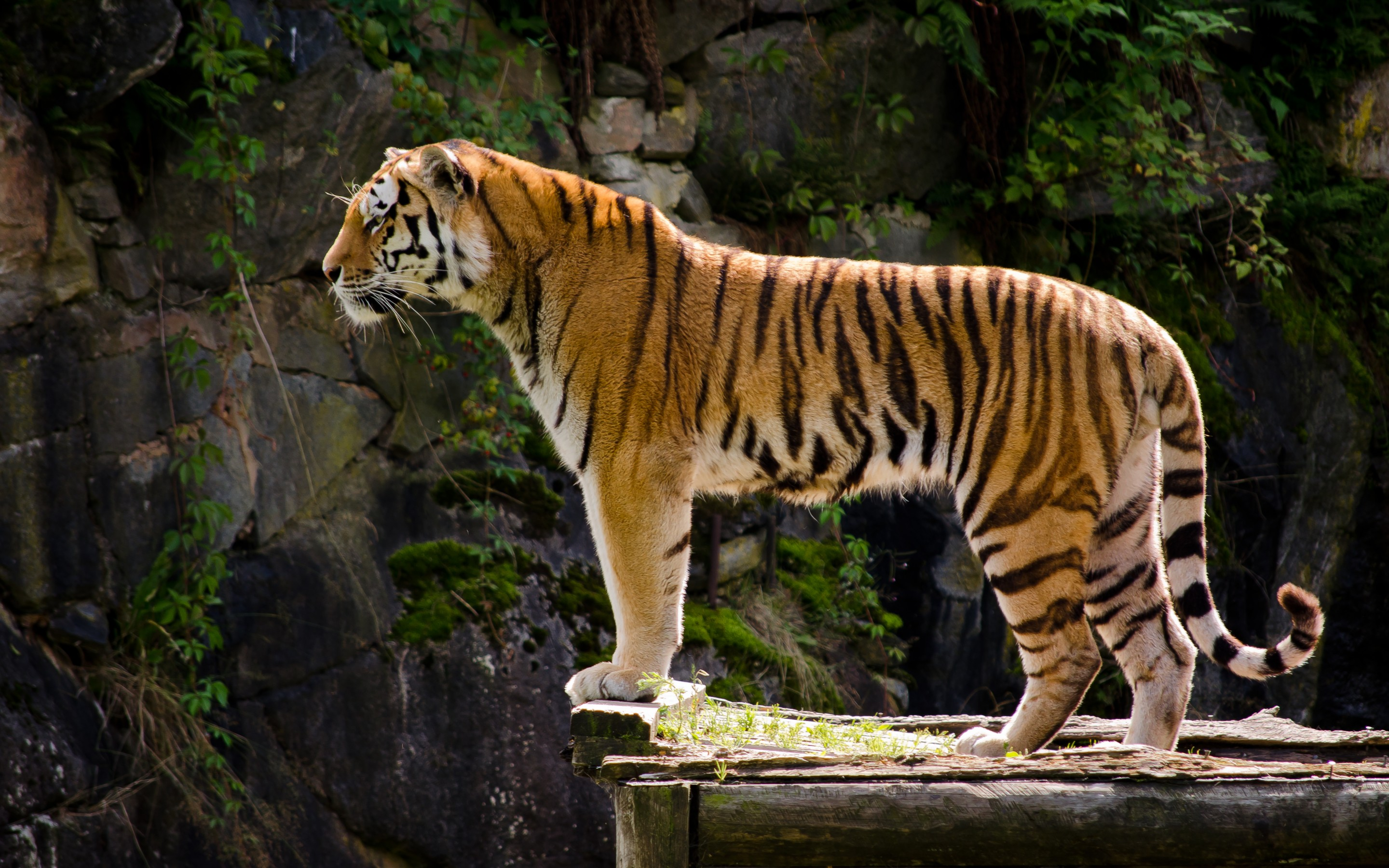 1317 tiger hd wallpapers | background images - wallpaper abyss - page 2