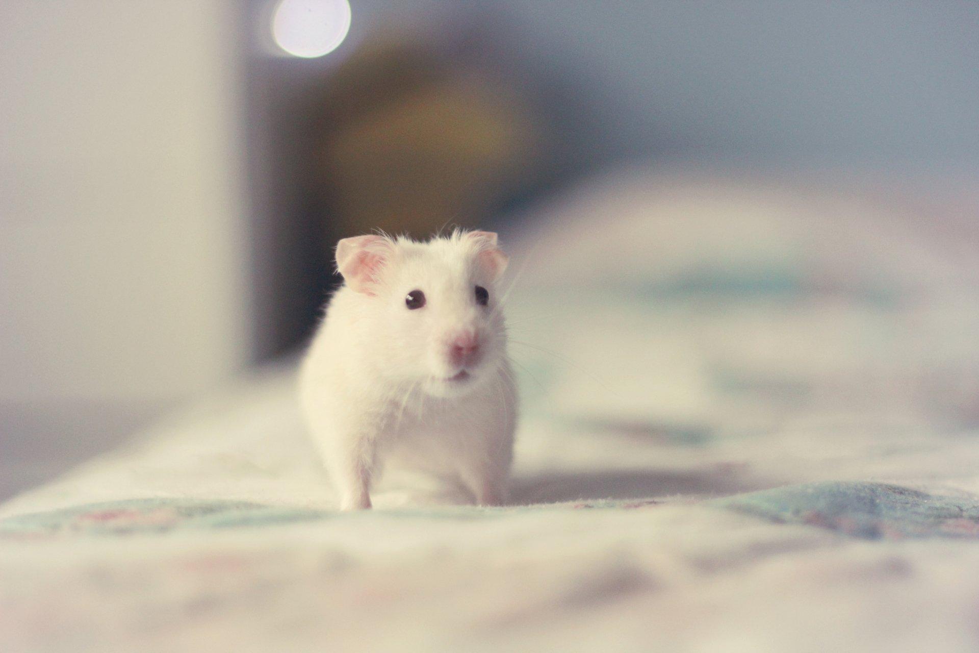 hamster full hd fond d 39 cran and arri re plan 2048x1365 id 421537. Black Bedroom Furniture Sets. Home Design Ideas