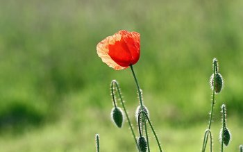 Earth - Poppy Wallpapers and Backgrounds ID : 421391
